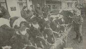 1987 Oktober, Jo dogge wat om de merke yn stand te halden, mar ik kost hjoed jild. Zo beschreef een koopman uit de Stellingwerven gistermorgen de Gerdykster Merke. Gorredijk was een getrouwe kopie van de jaarmarkten. Meer kramen en minder vee. De veertig koeien en tien paarden aan de balie kregen vanmorgen vroeg weinig belangstelling. De kooplieden zochten dan ook al vrij snel warmere vertrekken op. De belangstelling voor de kramenmarkt daarentegen groeit in Gorredijk. Voor marktmeester Popkema was het dan ook een passen en meten. Schattingen hielden het op zo'n 10.000 bezoekers van de jaarmarkt en de kermis. Op de foto: koeien aan de balie in de vernieuwde Hoofdstraat in Gorredijk.