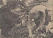 1951 Mei, Deze politieman zet straks de bloemetjes buiten misschien; volgens de bollenkoopman krijgt hij een tuin vol gladiolen