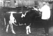 Slager Sikke Dokter met een rund dat werd vetgemest door Hans Melles van der Wal te Lippenhuizen.
